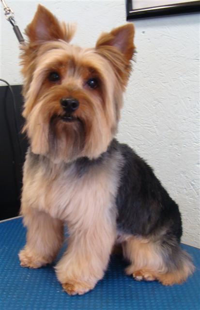 Yorkie Dog Haircut Styles